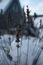 Lavendel im Winterschlaf. (1)