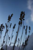 Lavendel im Winterschlaf. (2)