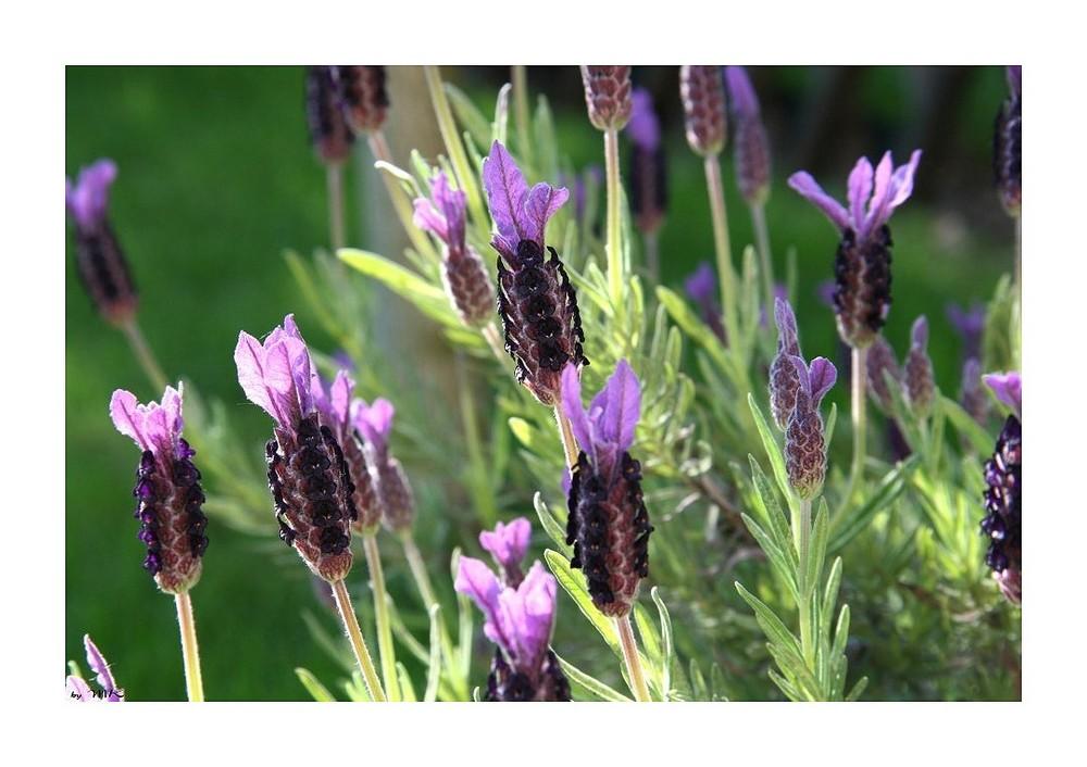 Lavendel in der Blüte