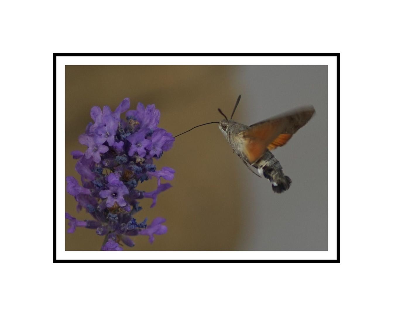 """Lavendel Kolibri"""