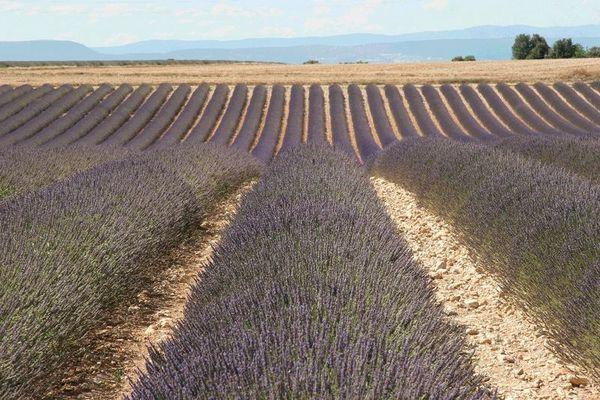 Lavendel kurz vor der Ernte
