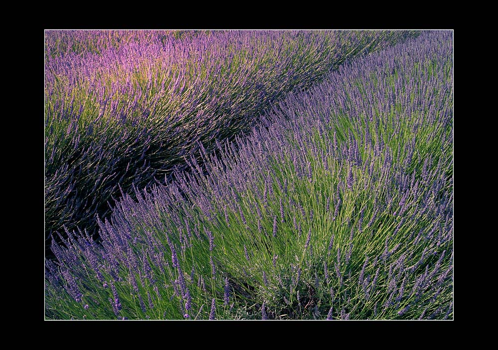 Lavendel, Lavendel # 1