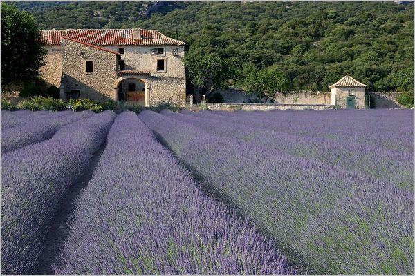 Lavendel, Lavendel # 2