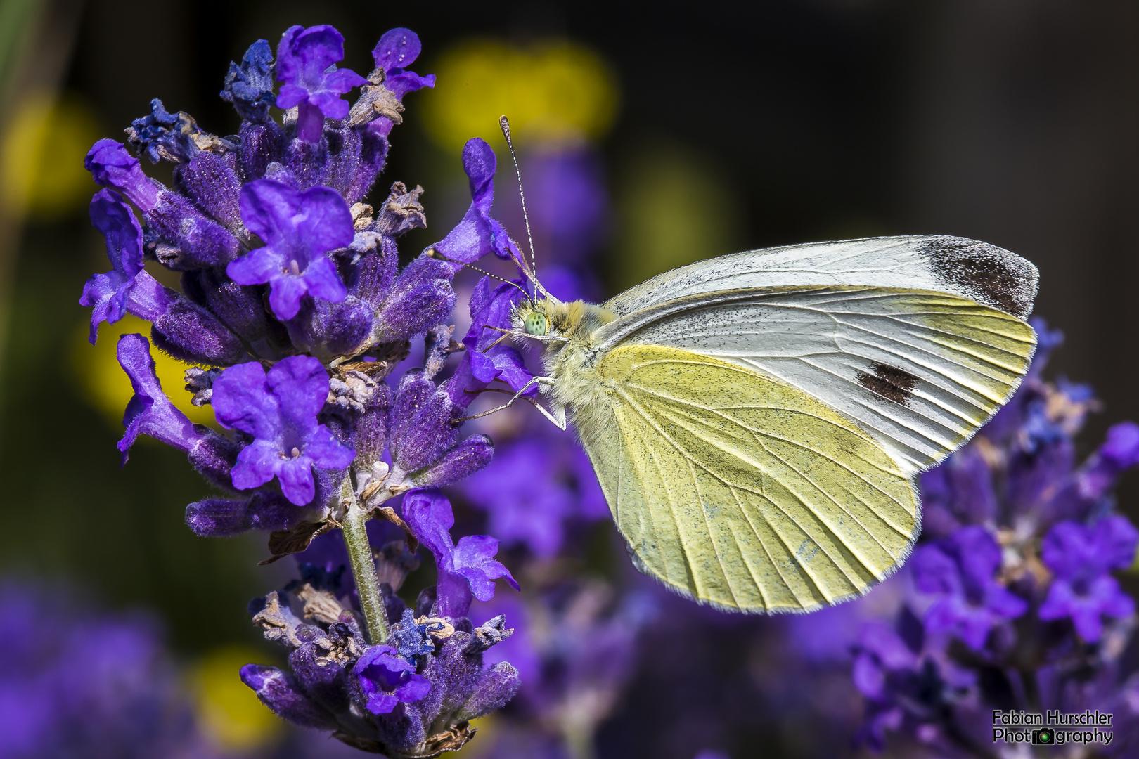 Lavendel Liebhaber