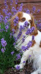 Lavendel Luna