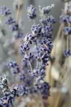 Lavendel mal anders