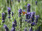 Lavendel mit Falter