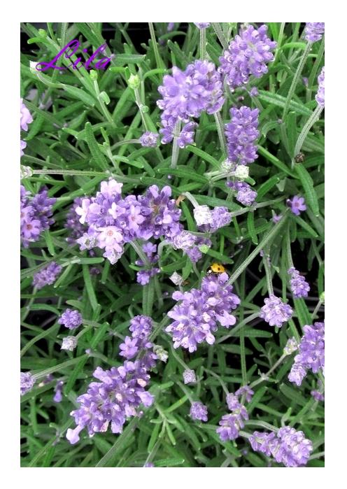 Lavendel mit Glück