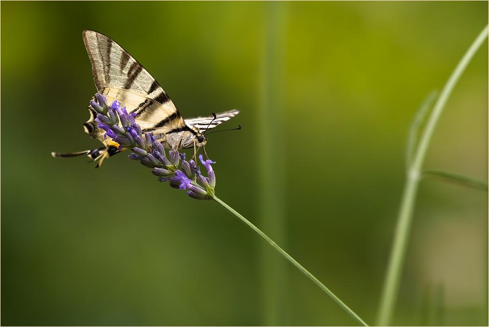 Lavendel-Nektar