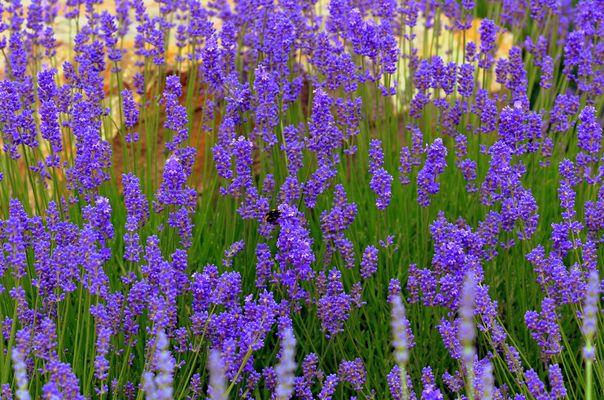 Lavendel ohne Ende