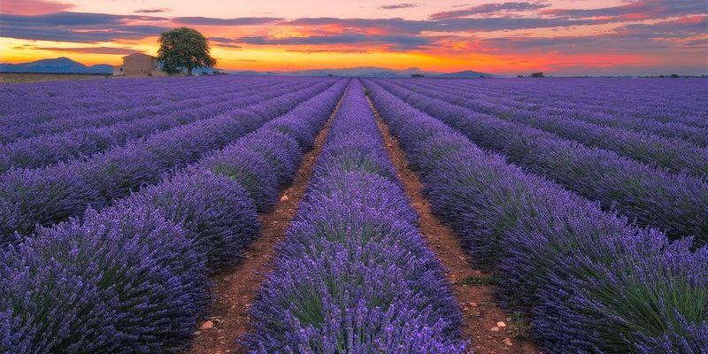 Lavendel - Provence, Frankreich