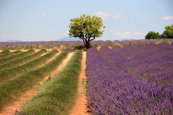 Lavendel - vor und nach der Ernte