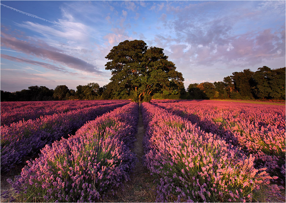 Lavendelbaum