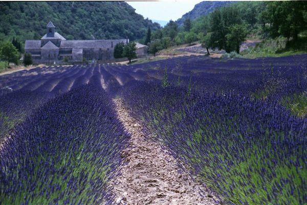 Lavendelblüte in der Provence beim Zisterzienser-Kloster Sénanque (Senanque)
