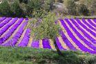Lavendelblüte- oder doch nicht ?