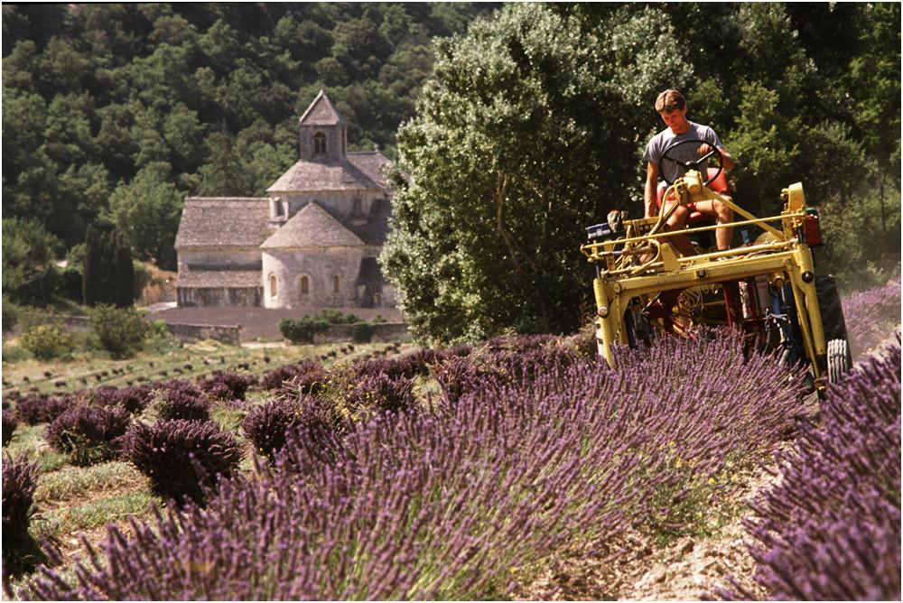 Lavendelernte an der Abtei Sénanque (Provence)