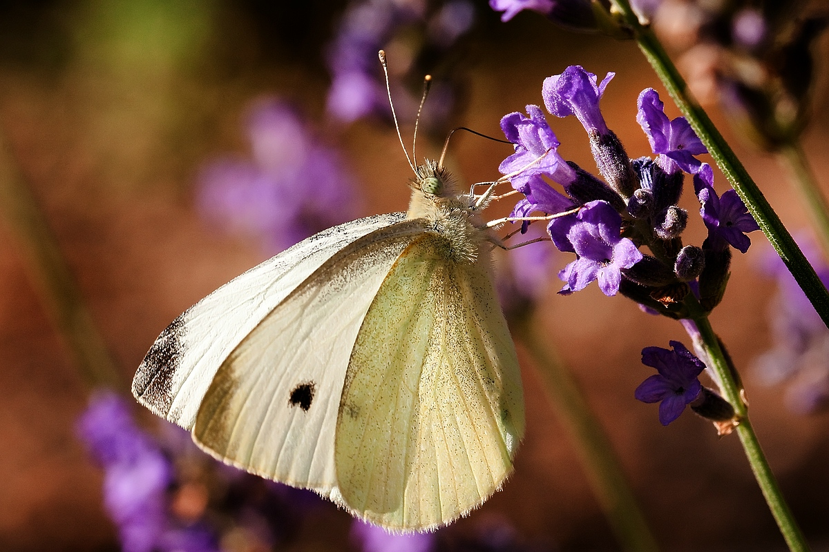 Lavendelfalter