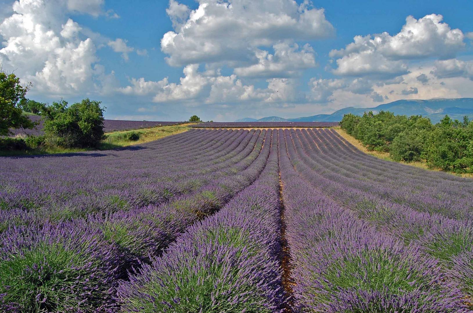 Lavendelfeld bei Riez/Département Alpes-de-Haute-Provence in Südfrankreich