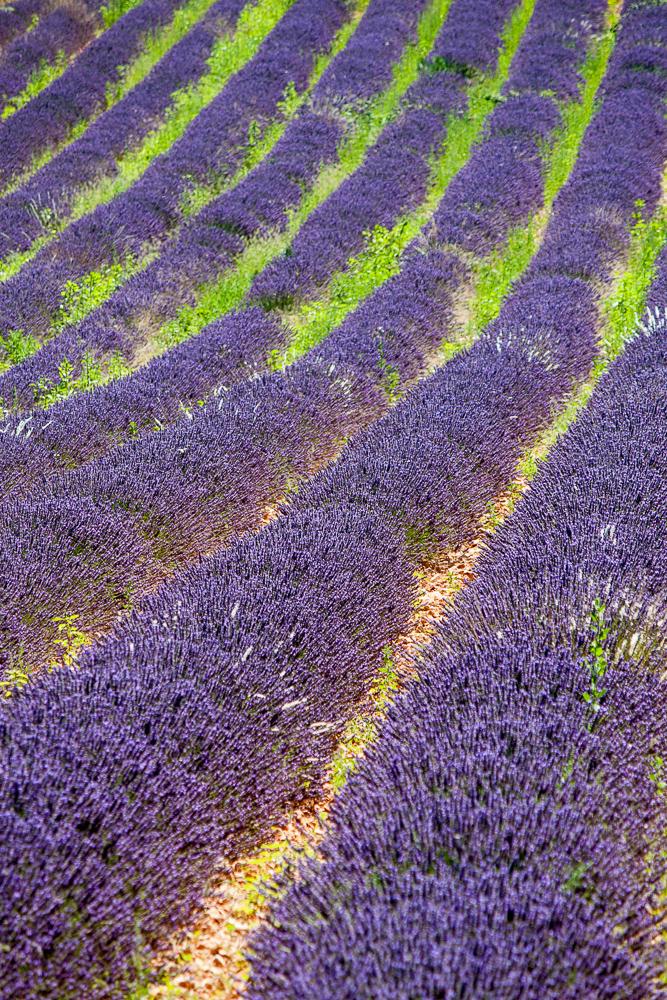 Lavendelfeld bei Sault (Vaucluse)