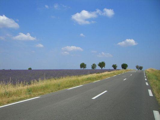 Lavendelfeld I