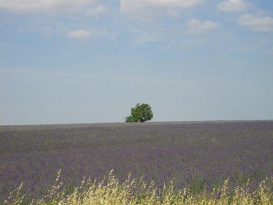 Lavendelfeld II