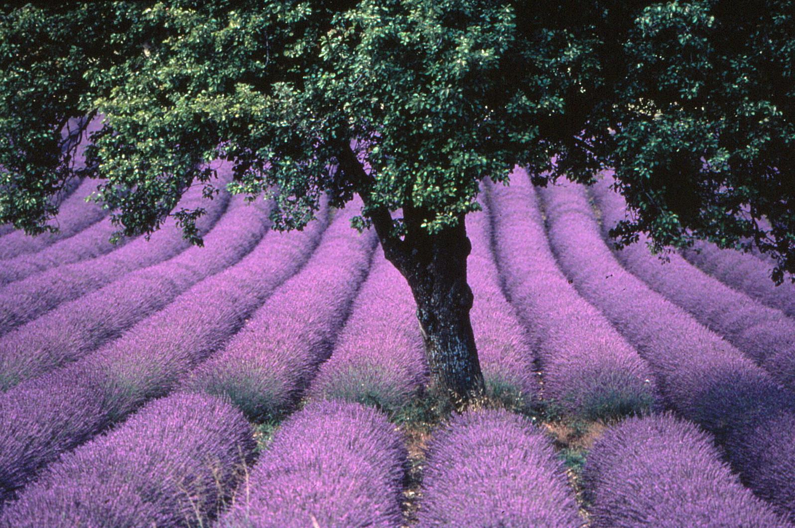Lavendelfeld in der Procence