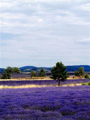 Lavendelfeld mit Himmel