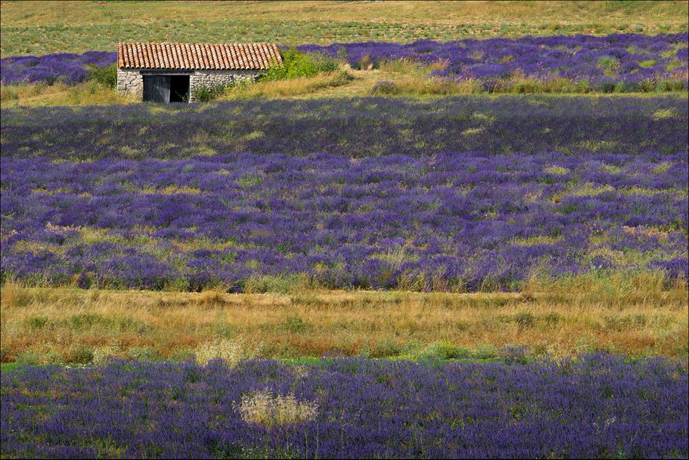 Lavendelfeld-mit-Steinhu?tte