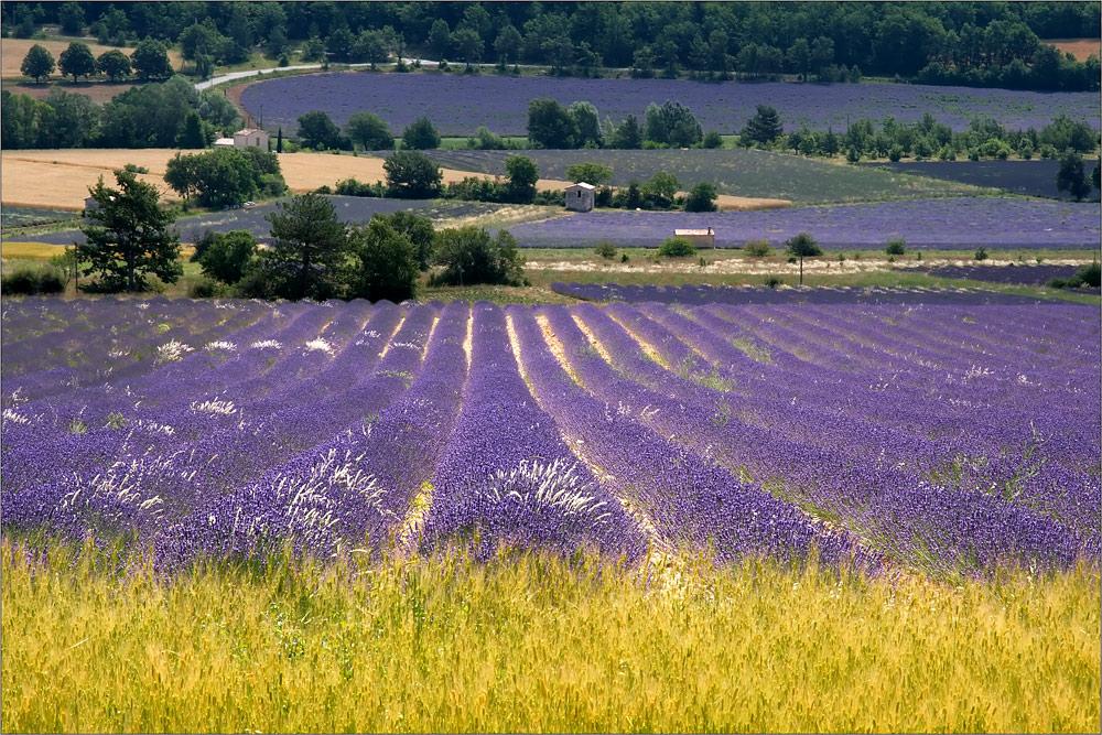 Lavendelfelder bei Sault