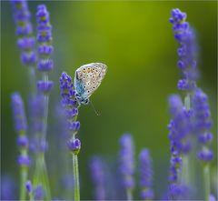 Lavendelkomposition