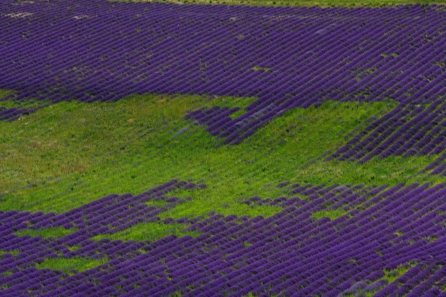 Lavendelmuster