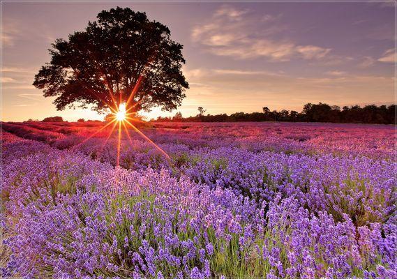 Lavendelstern