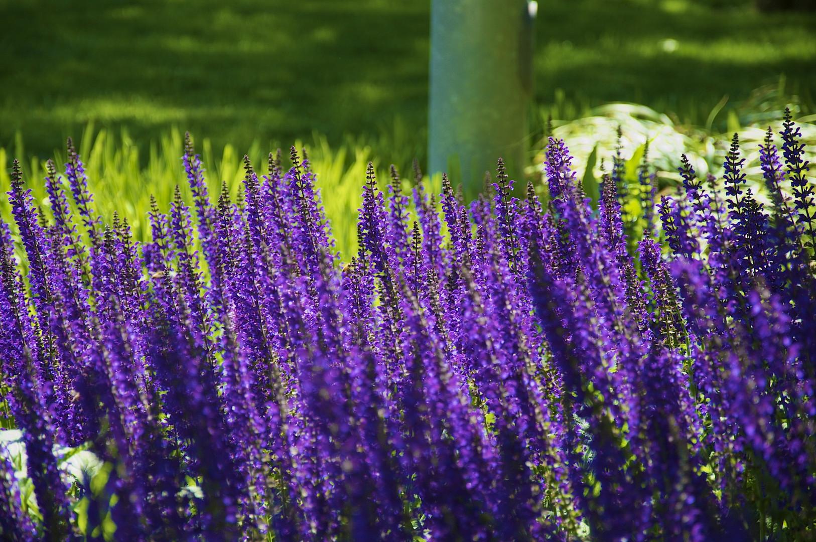 lavendelstr ucher foto bild anf ngerecke nachgefragt nachgefragt pflanzen lavendel. Black Bedroom Furniture Sets. Home Design Ideas