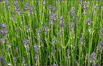 Lavendelwildwiese