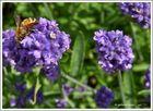 Lavendelzeit - die Bienchen freuen sich...........