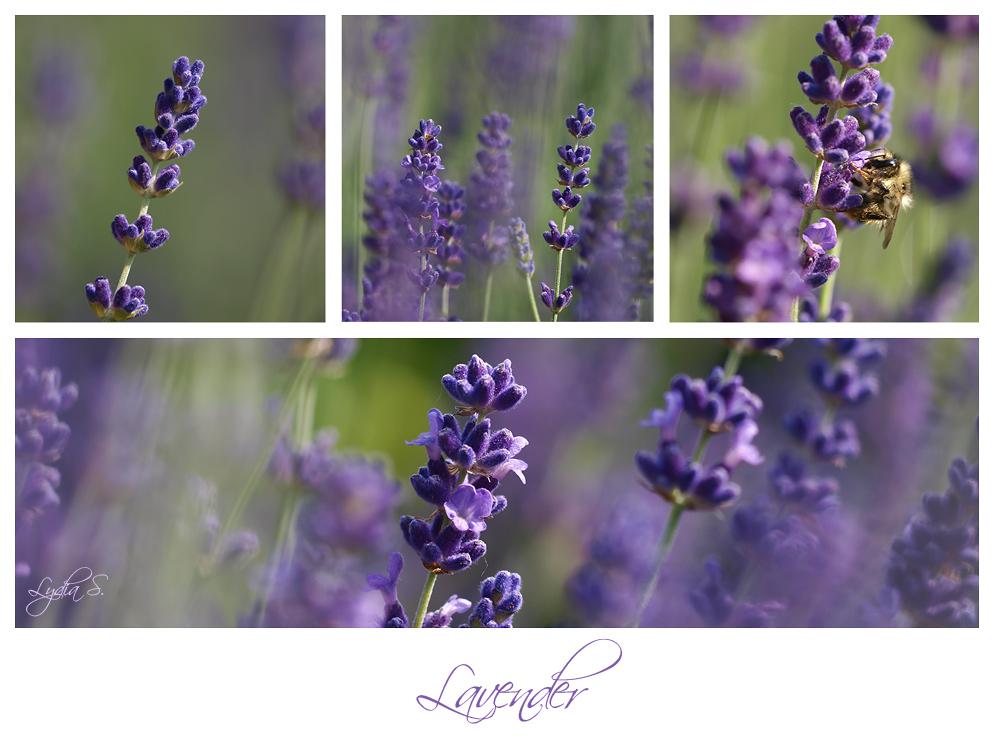 ...Lavender Blue...