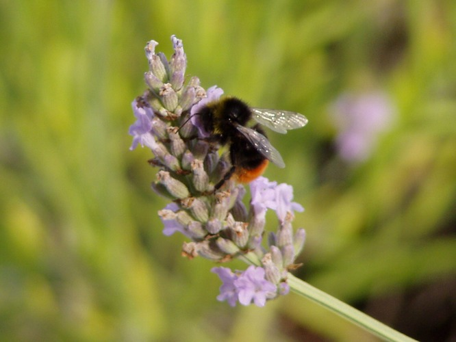 Lavender with Bumble Bee