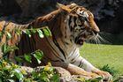 Lazy tiger..........