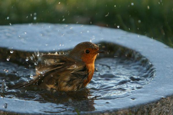 Le bain du rougegorge
