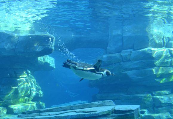 Le balet du pingoin..
