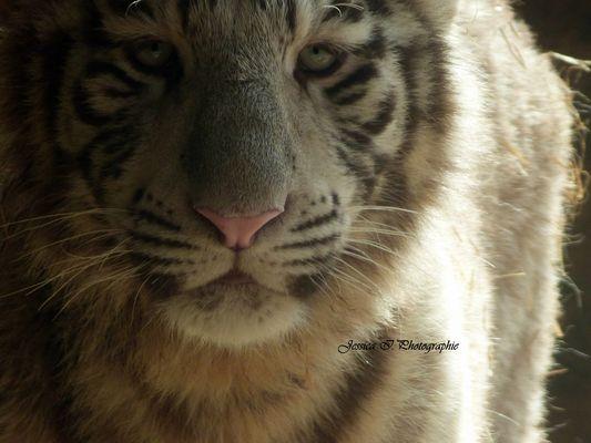 Le bébé tigre blanc