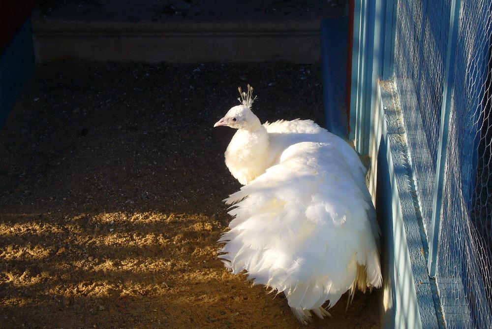 le bel oiseau blanc...