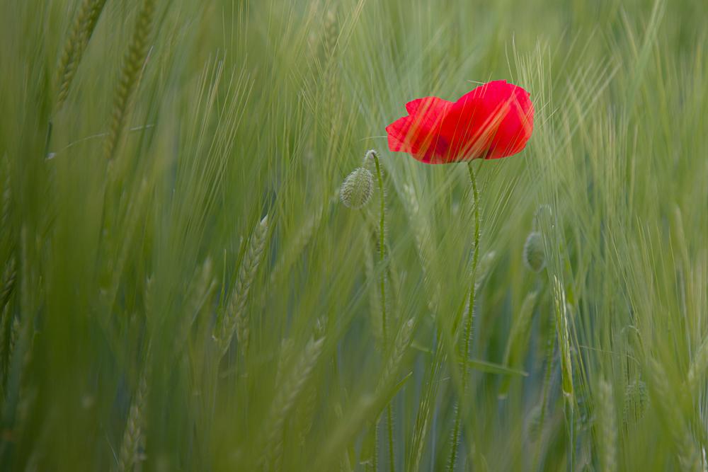 Le blé en herbe..