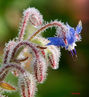 Le bleu intense de la fleur de bourrache ... (2)