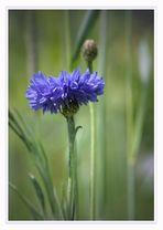 Le bleuet des champs...., die Kornblume.....fiordaliso...