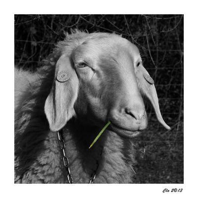 ...le bonheur ... de le mouton.... du voisin ....