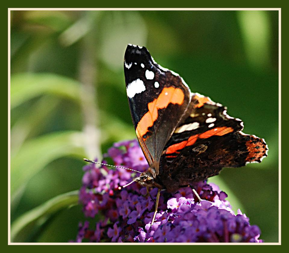 Le bonheur d'un papillon