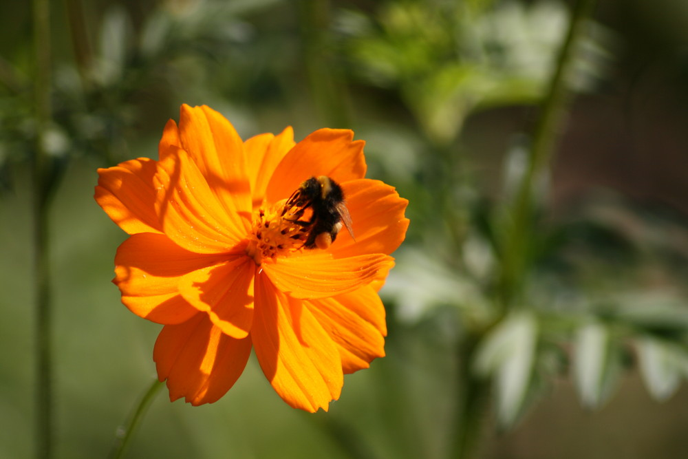 Le bourdon et sa fleur