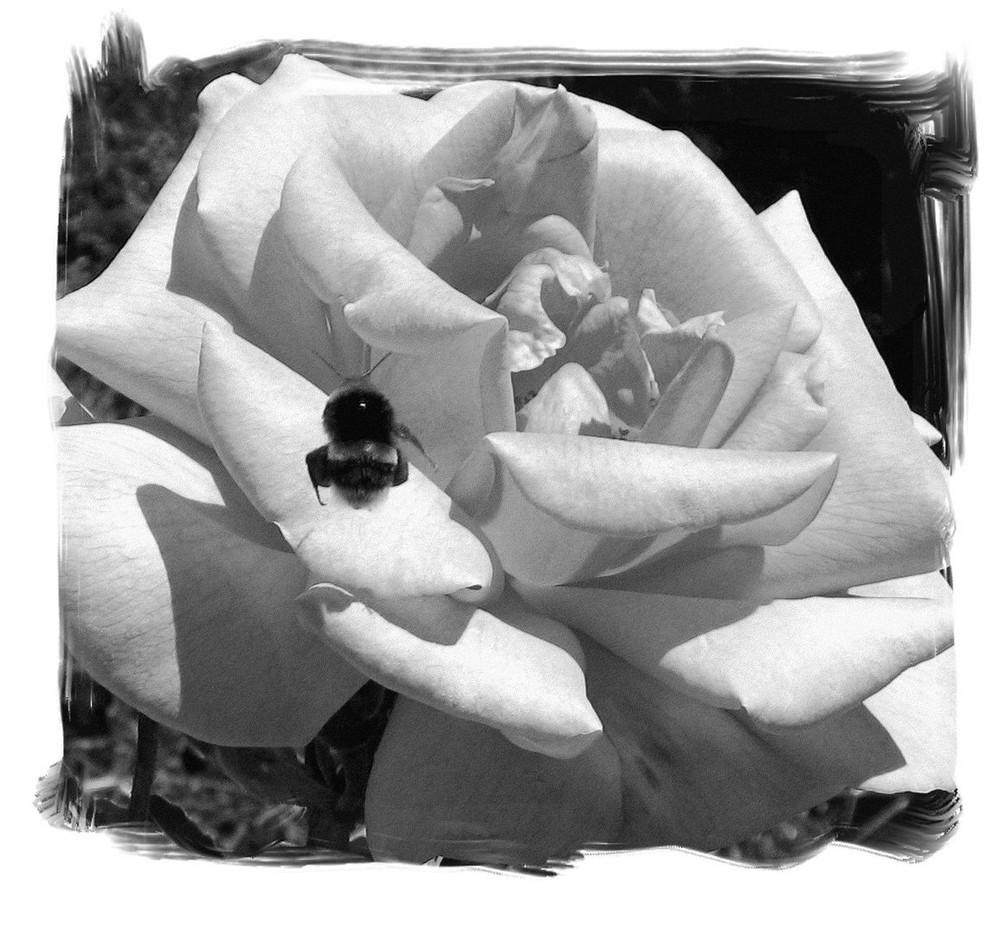 le bourdon sur la rose