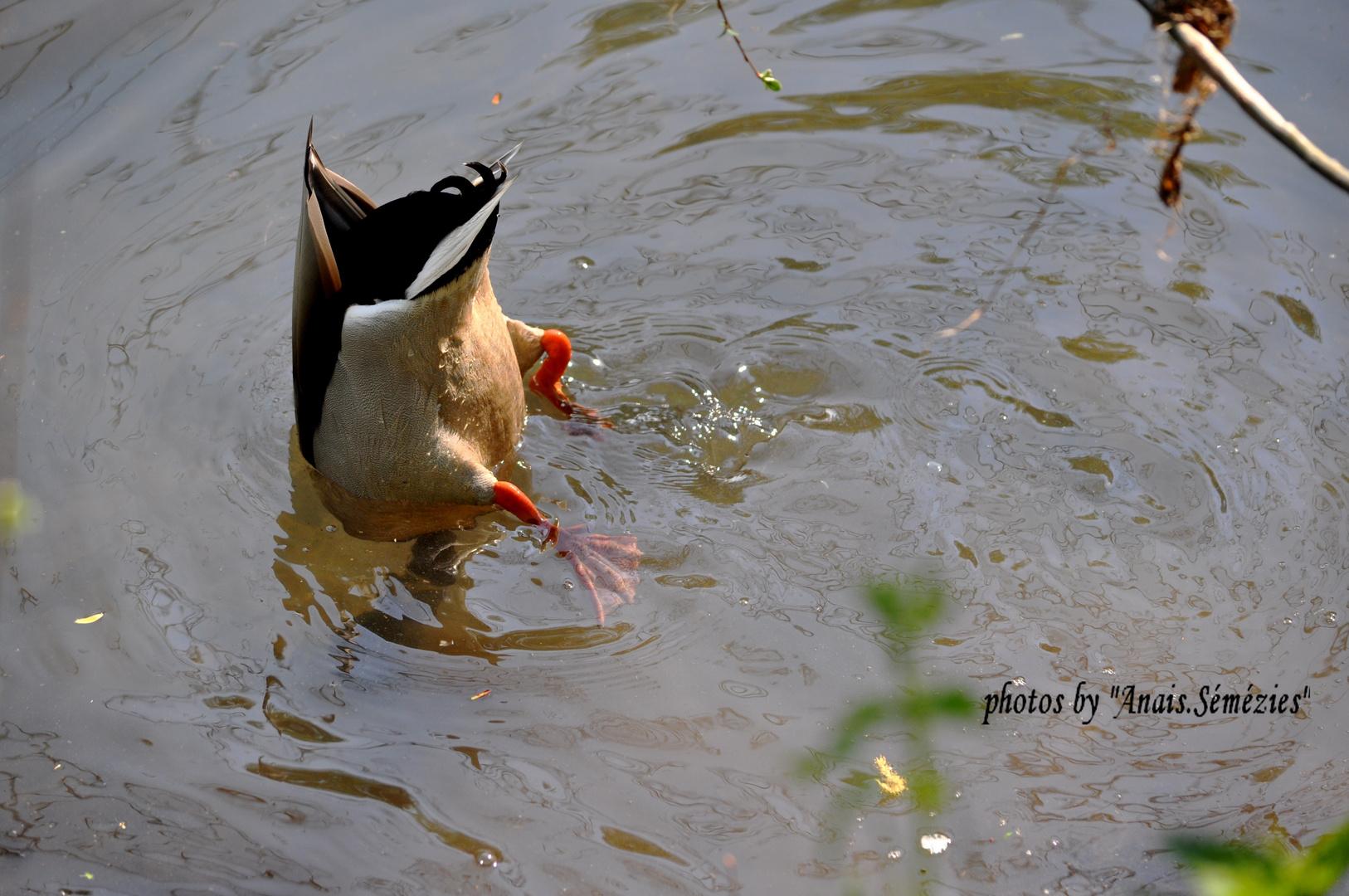 le canard col vert, l'explorateur des marais de Bourges